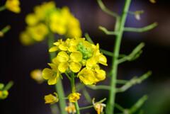 2021花の文化園 菜の花4