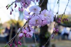 2021大阪城公園のしだれ桜2