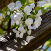 白い藤の花6