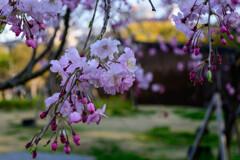 2021大阪城公園のしだれ桜1