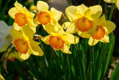 大阪城の黄色い水仙2