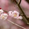 2021花の文化園 梅(朱鷺の舞)8