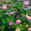 ランタナと揚羽蝶6