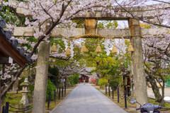 桜咲く神社の風景4