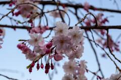 2021大阪城公園のしだれ桜3