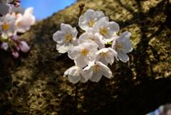 2021大阪城公園の桜20