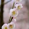 2021花の文化園 梅(朱鷺の舞)5