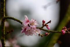 2021花の文化園 十月桜1