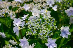 庭に咲いたガクアジサイ10