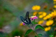 ランタナと揚羽蝶1