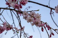 2021大阪城公園のしだれ桜4
