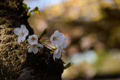 2021大阪城公園の桜19