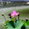 咲くやこの花館 花蓮・睡蓮展9