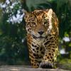 天王寺動物園のジャガー3