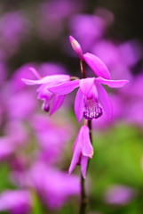 庭に咲いたシラン12