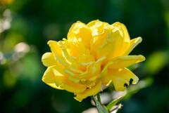 中之島公園バラ園のバラ2