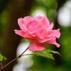 2021薔薇30