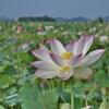 藤原宮さんのハスの花 2