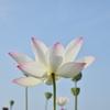 藤原宮跡のハスの花 3