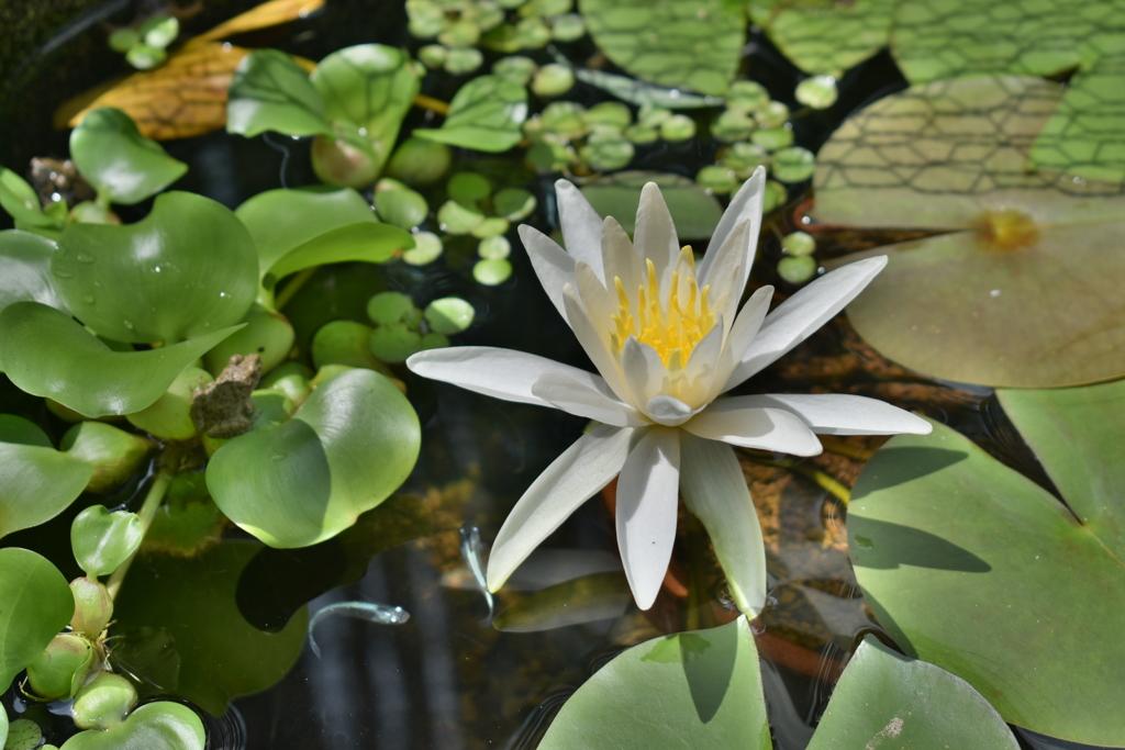 ウチの家の水蓮開花