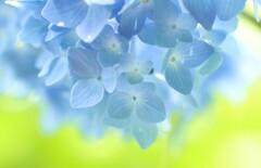 紫陽花☆*: .。.