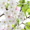 花桜☆*: .。.