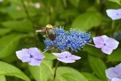 クマンバチと花