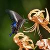 真夏の蝶と百合