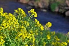 菜の花は小川の土手の斜面が似合うと思う。