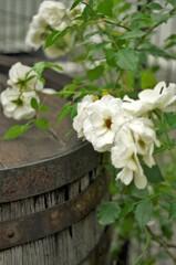 白薔薇と樽。