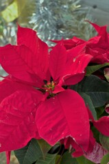 クリスマスの植物と言えば……。