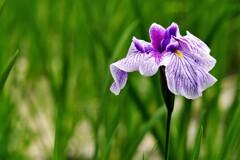 ショウブ:紫の濃淡系