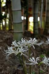 竹林と白い彼岸花。