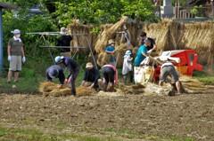 米の収穫:二期作してるのでしょうか? → 麦の収穫でした。