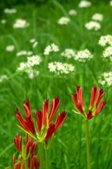 夏と秋:ニラの花とヒガンバナ