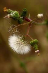 雑草の綿毛:ノボロギクと思われ。
