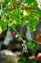 順調に実るブドウ。