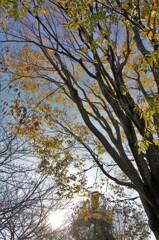 相模三川公園:ケヤキ