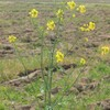孤高の菜の花