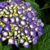 アジサイ:紫系