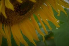気温12度:冷たい雨の中で咲く 02