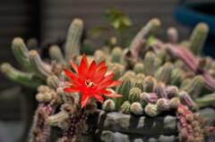 サボテンの開花