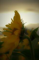 秋のひまわり:夕方