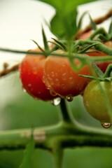 雨中のプチトマト。