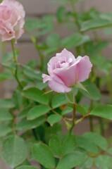 バラ:桜貝
