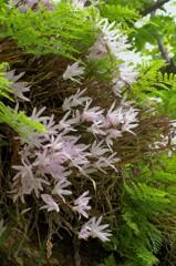 セッコク:日本の蘭