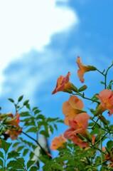 青空が似合う花