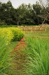 秋風景:花畑の向こうで稲を干している風景。