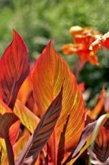 燃えさかるような葉:カンナ