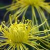 変わり咲きの菊